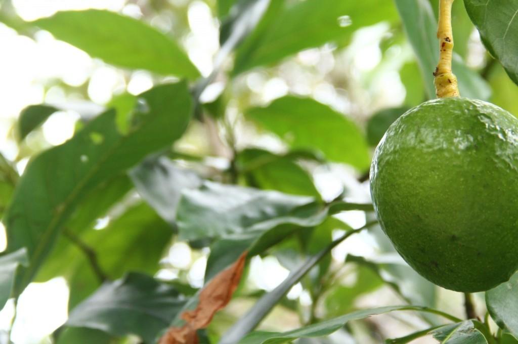 Abacateiro na Ilha de Mato